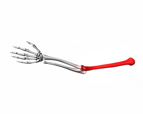 трубчатой костью является плечевая ключица лопатка